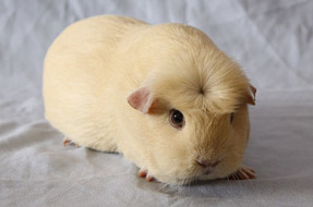 Types of guinea pigs wyatts guinea pig site crested guinea pig sciox Gallery